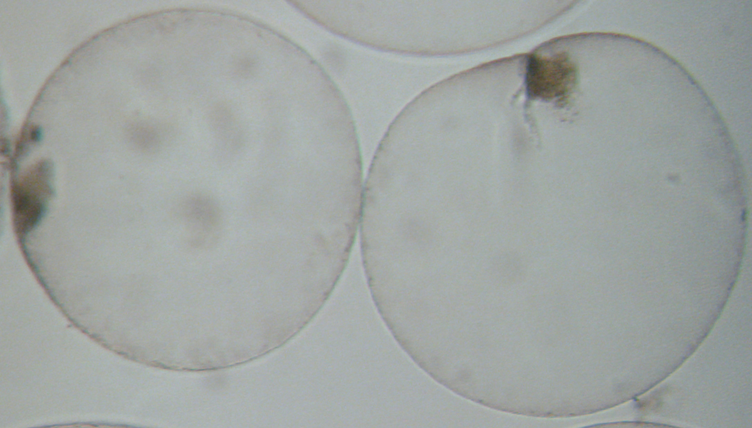 noctiluca2